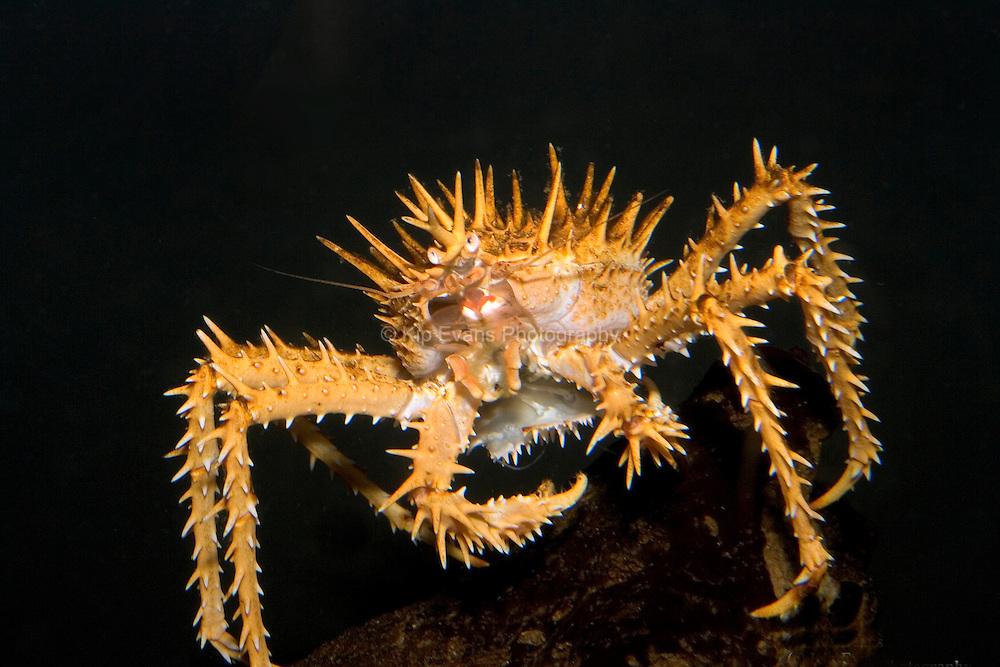 Spiny King Crab (Paralithodes rathbuni)