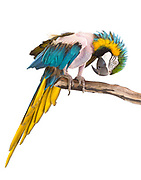 Tully, Blue and Gold Macaw (Ara ararauna). Before arriving at the Sanctuary, Tully plucked out her feathers for so long that they cannot grow back. She is now much healthier and happier.