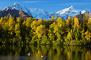Swans stop for a rest on the fall migration south, Matanuska River Valley, Alaska.