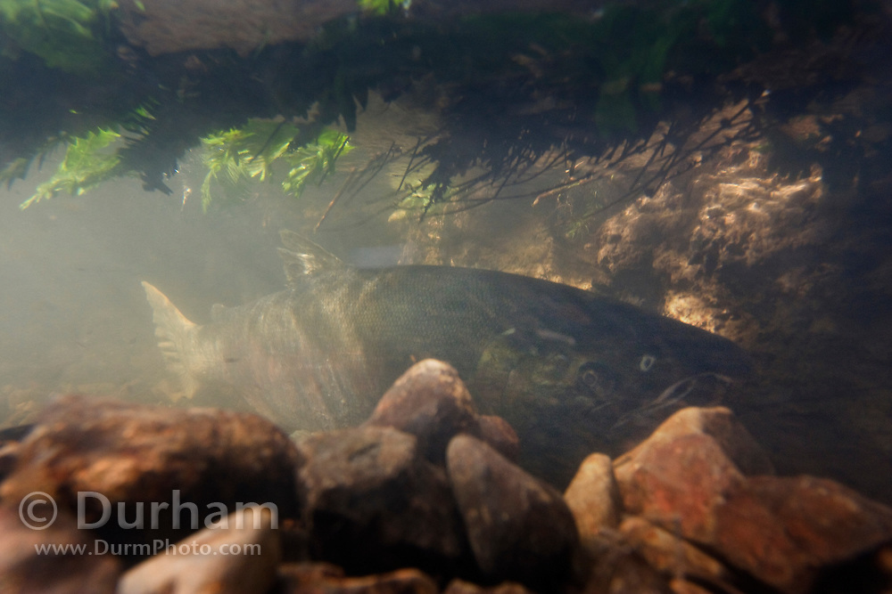 A female coho salmon (Oncorhynchus kisutch) hides in the rocks of Thompson Creek, under foilage along the bank. Oregon Coast. The fish has come up stream from the ocean to spawn and die.