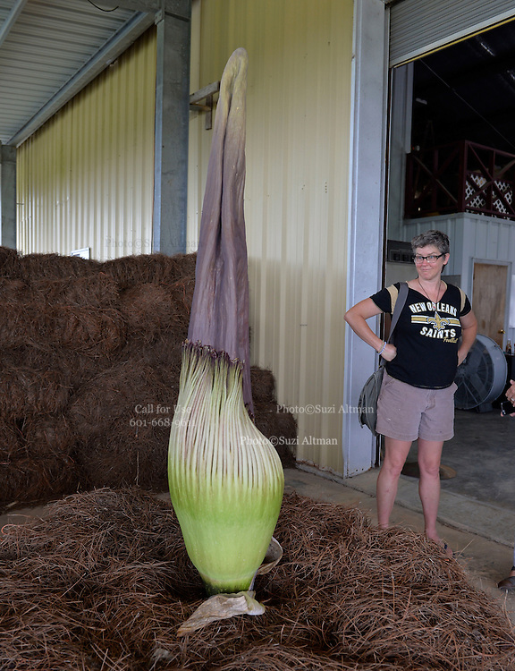 """Ellen Langford can't believe her eyes when she first see's the Titan Arum known  locally as """"Spike"""".  Like the Carly Simon song says...""""Anticipation ... is keeping me waiting""""  and """"Spike"""" the titan arum has us anticipating full flowering soon. Spike has held steady today at 65 inches in height, another indication that flowering can happen at any time now! The bloom lasts only about 24 hours and will not bloom again for many years, this will be the first time Spike has bloomed ever and it has taken over 9 years it is currently 65 inches tall. The largest flower in the world is commonly known as the Stink plant or corpse plant and smell  like rotting meat.Photo © Suzi Altman"""