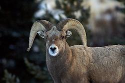 Bighorn Sheep Ram, Whiskey Mountain, Dubois Wyoming