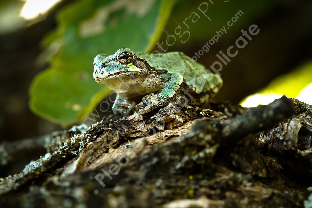 There are always tree frogs to be found near the cottage.  This one normally lives in the umbrella on the deck...©2010, Sean Phillips.http://www.RiverwoodPhotography.com