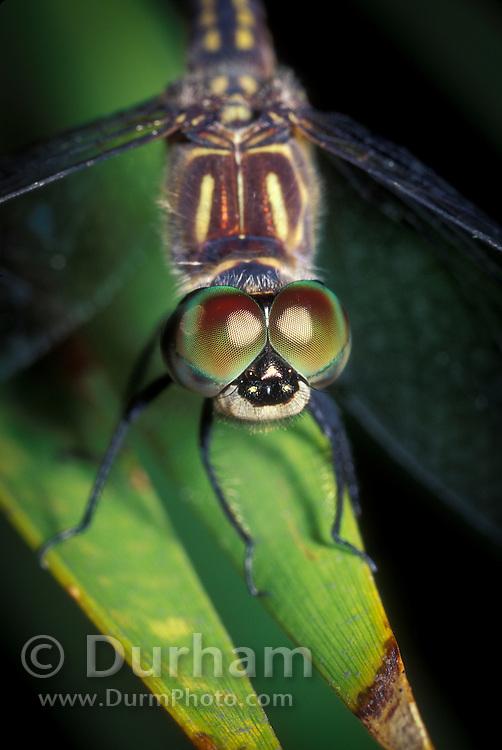 Marble eye dragonfly (Libellulidae spp.) in the Okefenokee National Wildife Refuge, Georgia.