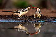 Southern red-billed hornbill (Tockus rufirostris), mother feeding large chick. Photo from Zimanga, South Africa.