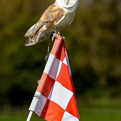 Echo, a barn owl at Oatridge golf course, Broxburn,