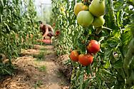 Heirloom Tomateos