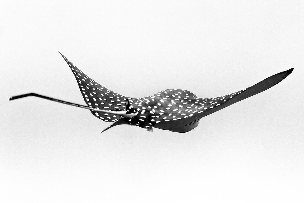 Eagle Ray swiming around a dive site called el Chato, Ixtapa, Guerrero, México.