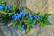 Mature blueberries on bush