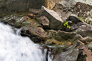 A Broadleaf Arnica (Arnica latifolia) growing next to Silver Falls on the Ohanapecosh River in Mount Rainier National Park in Washington State, USA.
