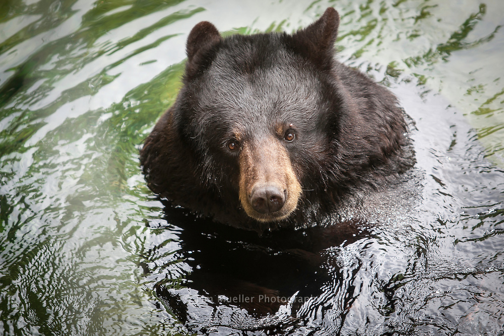 The Louisiana Habitat exhibit at the Alexandria Zoo includes the Louisiana Black Bear. Listed as a threatened species due to  habitat loss, the Louisiana Black bear can be found in the lowland swamp and forests of Tensas Parish and in the Atchafalaya.