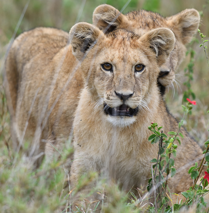 Two lion cubs (Panthera leo) play in the long dry grass of the Serengeti. Serengeti National Park, Tanzania.