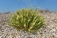 Wood Sage - Teucrium scordonia