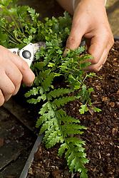 Propagating ferns by bulbils<br /> Removing leaf with bulbils from Asplenium lamprophyllum x A. bulbiferum