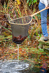 Removing fallen leaves from a pond using a net
