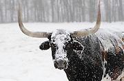 Longhorn steer and snow storm, Baxter County, Arkansas.