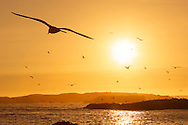 Beach with seagulls flying in the sky at sunset, Essaouira, Morocco.