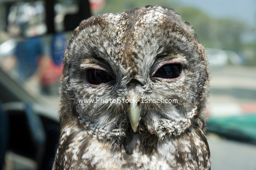Israel, Carmel Mountains, Tawny Owl (Strix aluco) Close up of the head and face. Summer August 2007