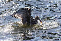 Licensed to London News Pictures. 06/10/2021. London, UK. After yesterday's torrential rains and flooding, A sea gull practices its fishing skills in Hyde Park, London today as weather forecasters predict a mild few days ahead with highs of 20c. Photo credit: Alex Lentati/LNP