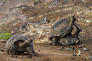 Galapagos Giant Tortoises mating (Geochelone elephantophus vandenburghi)<br /> Alcedo Volcano crater floor, Isabela Island<br /> GALAPAGOS ISLANDS<br /> ECUADOR.  South America<br /> One of 11 sub-species survising in the islands. This is an example of the dome-shaped sub-species. Alcedo hosts over half the 15,000 tortoises left in Galapagos. All tortoises were heavy hunted for food in the past. Dome-shaped males are double the size of the females. Males stay mainly in the highlands while females migrate towards the coast when they need to lay eggs.