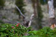 Sorbus americana, mountain ash berries, Jenny Lake Trail, at Grand Teton National Park, Wyoming