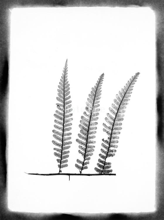 Stem with three fern leaves