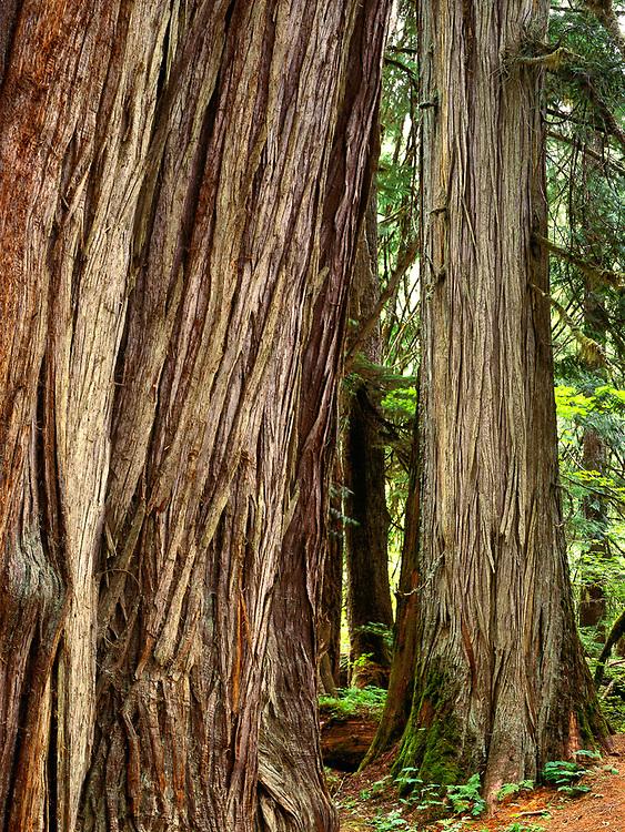 Western red cedar, Grove of the Patriarchs,  Mount Rainier National Park, Washington, USA