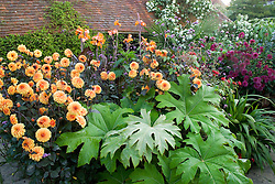 Dahlia 'David Howard' with Tetrapanax papyrifer and Canna 'Wyoming' in the exotic garden at Great Dixter