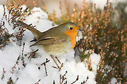 Robin, Erithacus rubecula, in heather in pinewood, in winter, Inverness-shire, Highland, snow