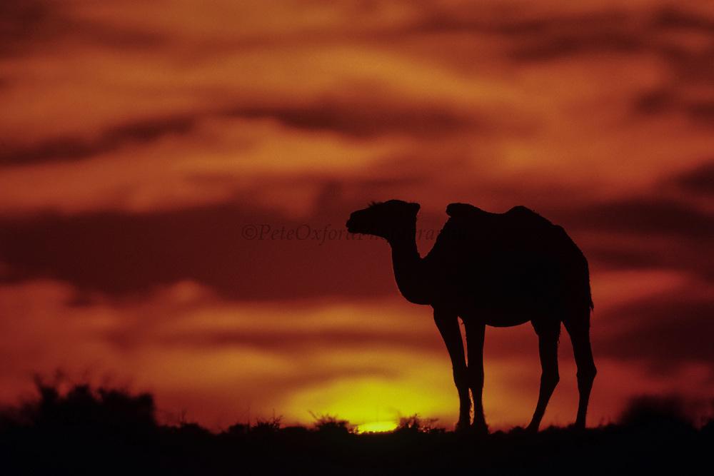 Bactrian camel (Camels bactrians) in sunset<br /> Southern Gobi Desert<br /> Mongolia<br /> winter