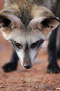 Bat-eared fox (Otocyon megalotis) | Löffelhunde (Otocyon megalotis) horchen mit senkrecht nach unten hängendem Kopf nach verborgener Beute, lokalisieren sie  mit den ausgerichteten Ohren und beginnen sehr exakt mit schnellen Bewegungen und langen Krallen zu graben. Ihre Technik öffnet selbst in hartem Untergrund recht schnell einen schmalen Graben und führt meist zum Erfolg, nämlich der Erbeutung z.B. von grabenden Käferlarven, Skorpionen, Termiten oder anderen im Boden versteckten Insekten.
