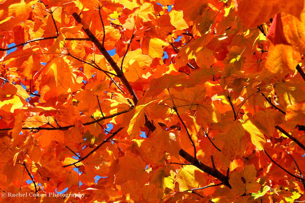 """""""Autumnal Eye Candy""""<br /> <br /> This image calls out to you with the brilliant golds, yellows, and orange colors set against the deep blue sky! Candy for the eyes, and warmth for the soul!!<br /> <br /> Fall Foliage by Rachel Cohen"""