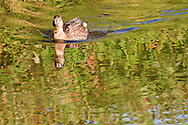 female Mallard duck (Anas platyrhynchos) a surface-feeding duck swimming with a wake and reflection in Takhlakh Lake in the Gifford Pinchot National Forest, Washington state, USA