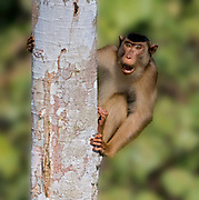 Male of southern pig-tailed macaque (Macaca nemestrina) from Tabin, Sabah, Borneo.