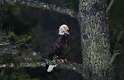 A bald eagles sits through light rain just off the highway in Breezy Point, MN on Wednesday, March 13, 2019.