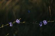 Purple cornflower, Tuscany
