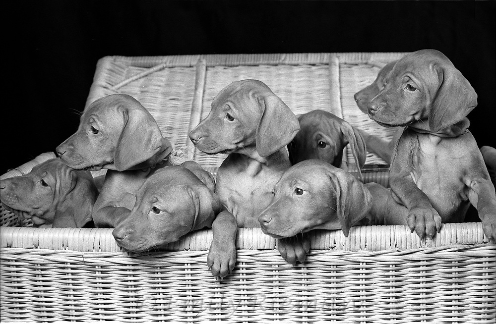 Portrait of a puppies shot on black and white film.
