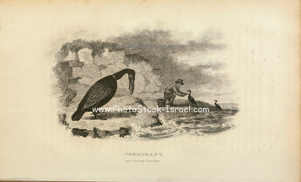 Trained Common Cormorant (Phalacrocorax carbo, great cormorant) used as a fishing aid from the 1825 volume (Aves) of 'General Zoology or Systematic Natural History' by British naturalist George Shaw (1751-1813). Shaw wrote the text (in English and Latin). He was a medical doctor, a Fellow of the Royal Society, co-founder of the Linnean Society and a zoologist at the British Museum. Engraved by Mrs. Griffith