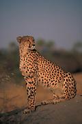 Cheetah<br />Acinonyx jubatus<br />Okavango Delta,  BOTSWANA,  Africa