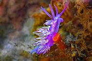 Pink coryphella - Coryphelle mauve (Edmundsella pedata) of Mediterranean Sea.