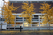 Autumn leaves on Ginkgo trees on 27th November 2019 in London, England, United Kingdom. Autumn leaf colour is a natural phenomenon where green leaves of many deciduous trees and shrubs during a few weeks in the autumn season, change colour to various shades of yellow, orange, red and brown as the plants reduce the chlorophyll to shed the leaves at this time of the year.
