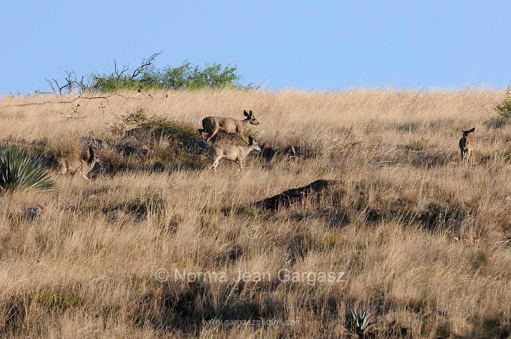 Mule deer traverse the grasslands along 92, Gardner Canyon Road, in the foothills of the Santa Rita Mountains, Sonoita, Arizona, USA.