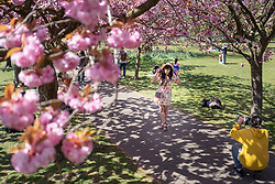 © Licensed to London News Pictures. 24/04/2021. London, UK. A woman poses for a photographer in an avenue of cherry blossom trees during sunny weather in Greenwich Park in south east London. Temperatures are expected to rise with highs of 16 degrees forecasted for parts of London and South East England today . Photo credit: George Cracknell Wright/LNP
