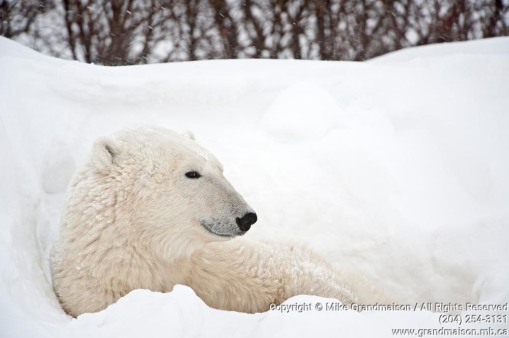 Polar bear  (Ursus maritimus) on frozen tundra along the Hudson Bay Coast<br /> Churchill<br />Manitoba<br />Canada