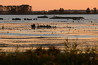 Waterfowl, mainly ducks, Anklamer Stadtbruch, Germany, Oder river delta/Odra river rewilding area, Stettiner Haff, on the border between Germany and Poland