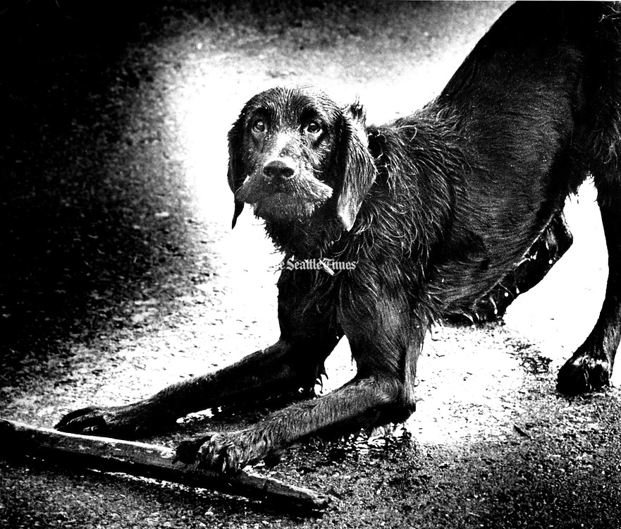 This is Buddy. He's part Airedale and part Labrador Retriever. (Jerry Gay / The Seattle Times, 1973)