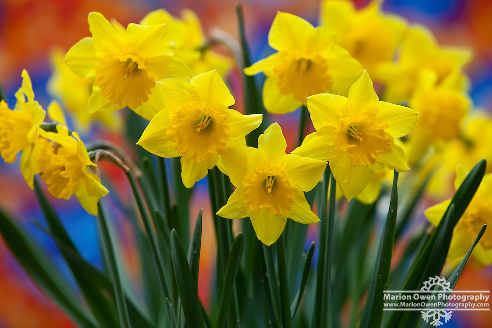 Yellow daffodils blooming in front of colorful background, Kodiak Island, Alaska, late spring