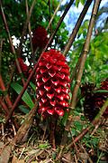 Ginger flower, Lyon Arboreteum, Manoa Valley, Honolulu, Oahu, Hawaii