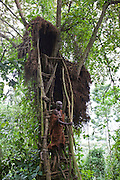 A Batwa tribesman demonstrates how to access food kept in a Mwamba hut used for storage up in a tree. The Batwa now have a traditional village in the forest with the support of the Batwa Development Program.  They were indigenous forest nomads before they were evicted from the Bwindi Impenetrable Forest in the mid nineties when it was made a World Heritage site to protect the mountain gorillas.