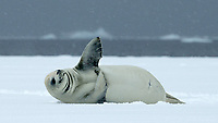 Crabeater Seal (Lobodon carcinophagus) in Antarctica